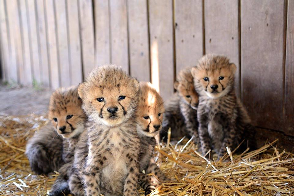 Vaila's cubs. Metro Richmond Zoo/Facebook