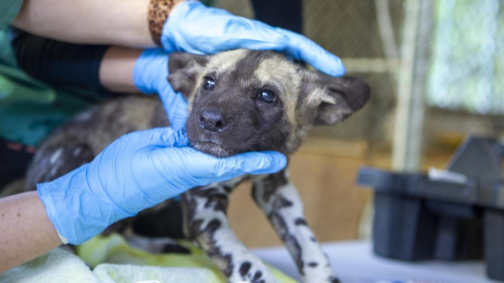 Endangered African Painted Dogs